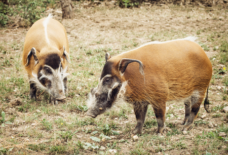 bush hog: Pair of Red river hog (Potamochoerus porcus). Animal theme. Bush pig portrait. Stock Photo