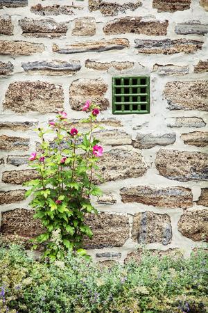 fiori di ibisco: Vecchio muro di mattoni e fiori di ibisco. Scena rurale. Composizione verticale.