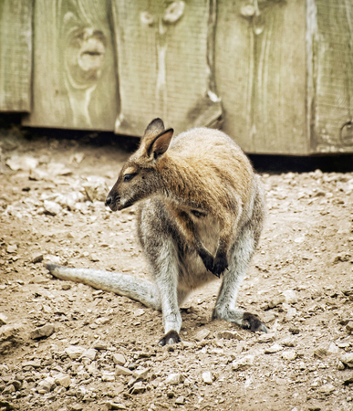 marsupial: Red-necked wallaby or Bennetts wallaby (Macropus rufogriseus) is a medium-sized macropod marsupial (wallaby), common in the more temperate and fertile parts of eastern Australia, including Tasmania.