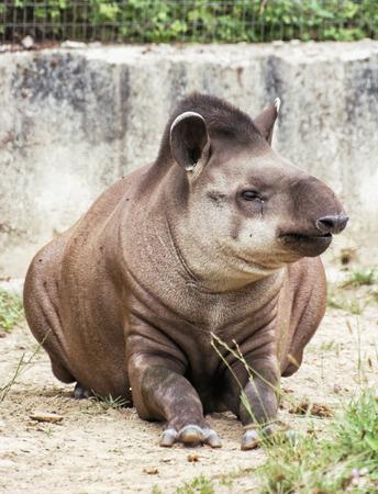 lowland: South American tapir (Tapirus terrestris) also know as Brazilian tapir and Lowland tapir. Animal scene. Vertical composition.