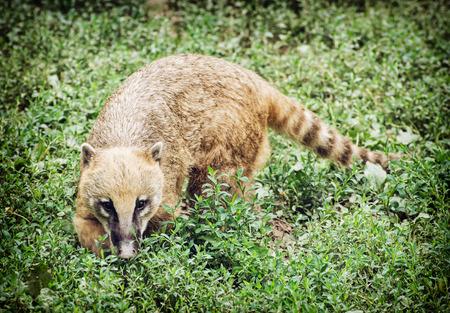 Nasua (Ring-tailed coati) hiding in the green vegetation. Animal scene.