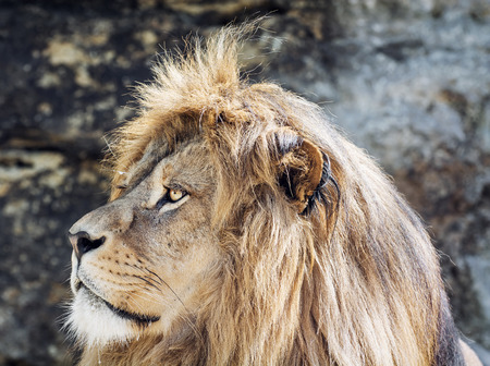 endangered species: Portrait of a Barbary lion (Panthera leo leo). Animal scene. Critically endangered species.