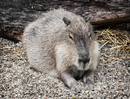 animal only: Capybara (Hydrochoerus hydrochaeris) is a large rodent of the genus Hydrochoerus of which the only other extant member is the lesser capybara (Hydrochoerus isthmius). Animal portrait.