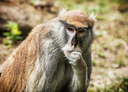 hussar: Patas monkey (Erythrocebus patas), also known as the wadi monkey or hussar monkey, is a ground-dwelling monkey distributed over semi-arid areas of West Africa, and into East Africa. Animal scene. Stock Photo