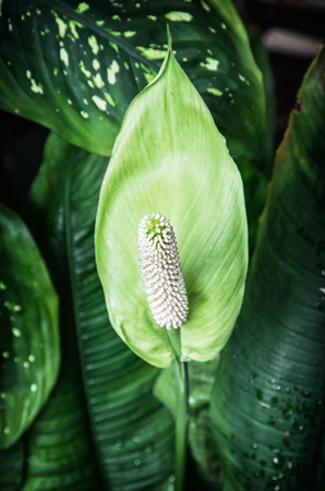 Spathiphyllum plant in orangery. Natural scene. Beauty in nature.