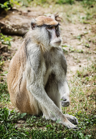 hussar: Patas monkey (Erythrocebus patas), also known as the wadi monkey or hussar monkey, is a ground-dwelling monkey distributed over semi-arid areas of West Africa, and into East Africa. Animal portrait. Beauty in nature. Stock Photo