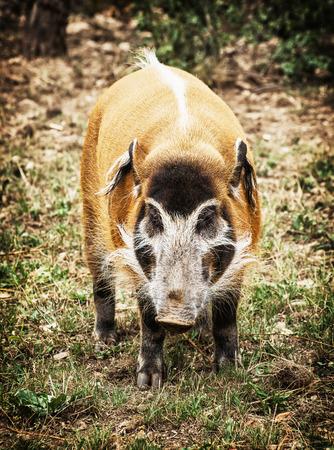bush hog: Red river hog portrait (Potamochoerus porcus). Animal scene. Stock Photo