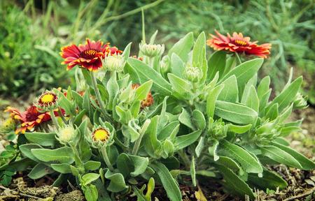 herbera: Gerbera flowers in the garden. It was named in honour of German botanist and medical doctor Traugott Gerber. Natural scene.