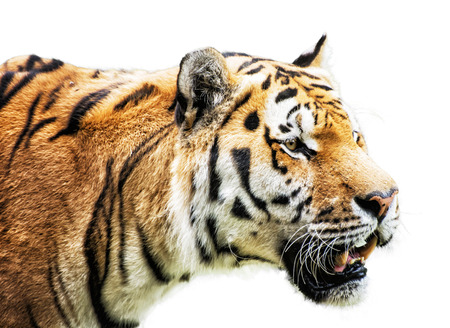 Siberian tiger - Panthera tigris altaica - also known as the Amur tiger, is a tiger subspecies inhabiting mainly the Sikhote Alin mountain region. Animal portrait on the white background.