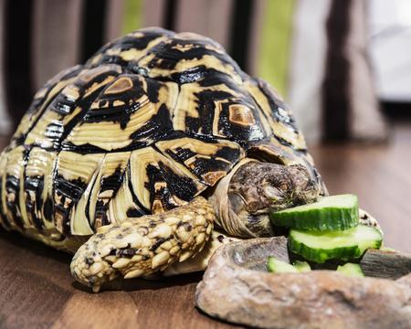 endangered species: Leopard tortoise - Geochelone pardalis - eating cucumber. Animal scene. Endangered species.