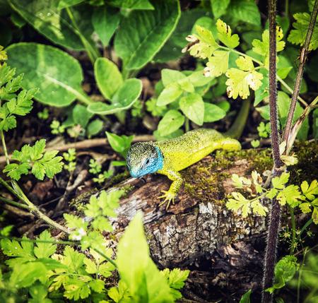 lacerta viridis: Beautiful European green lizard (Lacerta viridis) is basking on the wood. Animal scene.
