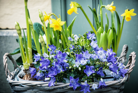 bluebells: Bluebells and yellow daffodils in the wicker basket. Symbol of spring. Gardening theme. Natural decoration.