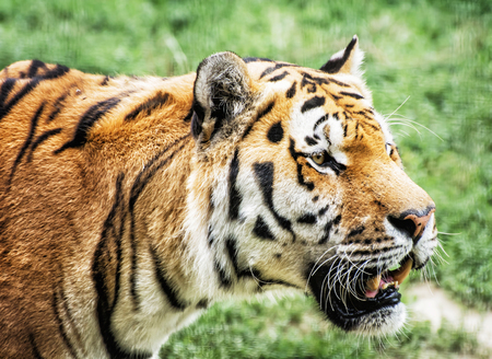 siberian tiger: Siberian tiger (Panthera tigris altaica), also known as the Amur tiger, is a tiger subspecies inhabiting mainly the Sikhote Alin mountain region. Animal closeup scene.