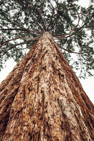 species living: Sequoiadendron giganteum (Giant sequoia, Giant redwood, Sierra redwood, Sierran redwood, or Wellingtonia) is the sole living species in the genus Sequoiadendron, and one of three species of coniferous trees known as redwoods.
