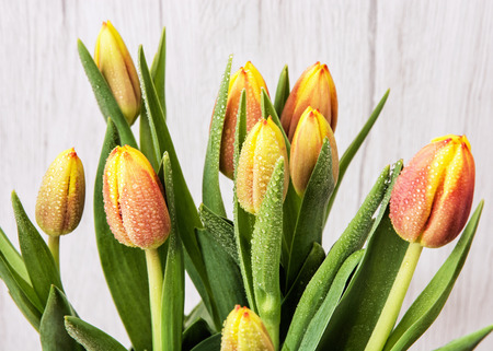 Beautiful orange tulips with dew. Spring natural scene. Cut flowers.