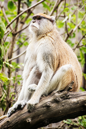surroundings: Patas monkey - Erythrocebus patas - sitting on the branch and observing surroundings. Animal scene.