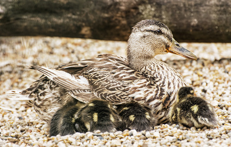 youngs: Wild duck with youngs. Animal scene. Spring theme. Detail photo. Stock Photo