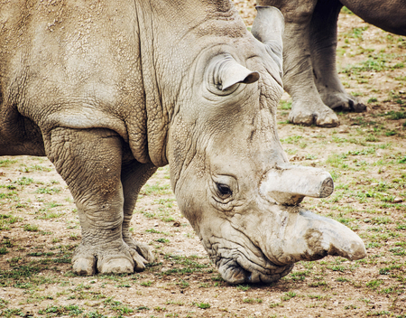 animal species: Profile portrait of a big White rhinoceros (Ceratotherium simum simum). Animal theme. Critically endangered animal species.