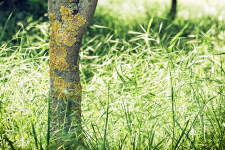 symbiotic: Tree trunk with yellow lichens and field of grain. Seasonal outdoors scene.