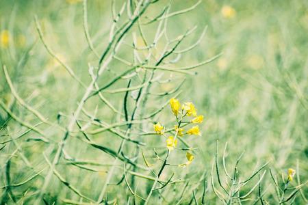 oilseed: Seasonal rapeseed field. Agricultural theme. Beauty in nature. Oilseed rape.