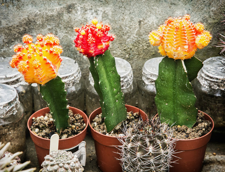 Three flowering cacti in greenhouse. Gardening theme. Beauty in nature.