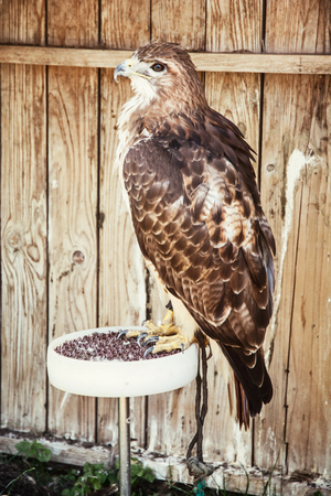 aigle royal: Golden eagle - Aquila chrysaetos - grand oiseau de proie. sc�ne des animaux. Banque d'images
