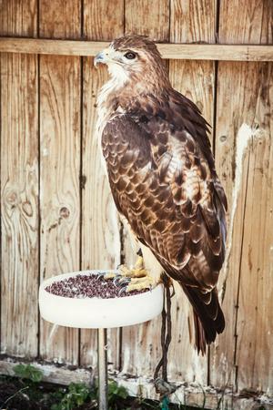 aigle royal: Golden eagle - Aquila chrysaetos - grand oiseau de proie. scène des animaux. Banque d'images