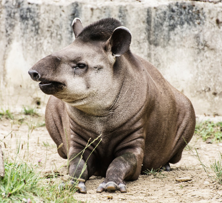 animal species: South American tapir - Tapirus terrestris - also know as Brazilian tapir and Lowland tapir. Endangered animal species. Beauty in nature. Stock Photo