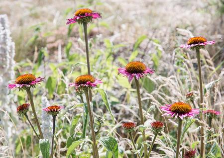 coneflowers: Beautiful Echinacea flowers - purple coneflowers. Natural scene. Stock Photo