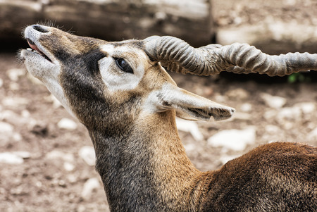 threatened: Blackbuck (Antilope cervicapra) is an ungulate species of antelope native to the Indian subcontinent that has been listed as Near Threatened on the IUCN Red List since 2003. Beauty in nature.