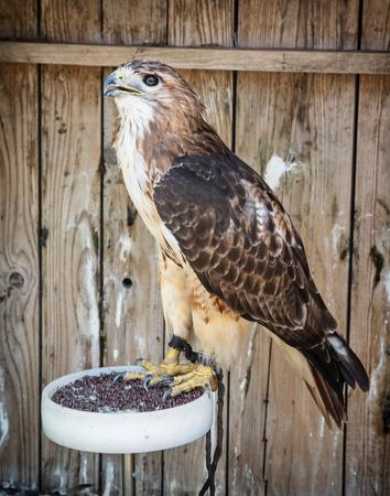 aigle royal: Aigle royal (Aquila chrysaetos) - grand oiseau de proie. scène des animaux. Banque d'images