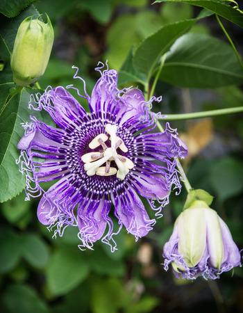 Macro photo of Passiflora incarnata flower in botanic garden. Natural scene. Beauty in nature.
