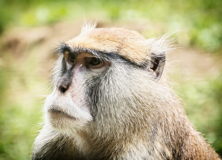 hussar: Patas monkey or Hussar monkey - Erythrocebus patas. Animal portrait. Beauty in nature. Stock Photo