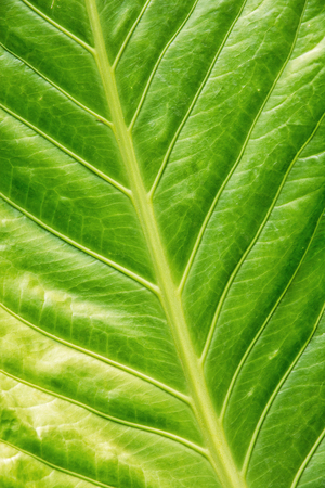 tropical evergreen forest: Background of green tropical leaf. Natural scene.