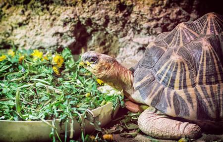radiated: Radiated tortoise - Astrochelys radiata - feeding. Animal portrait. Stock Photo