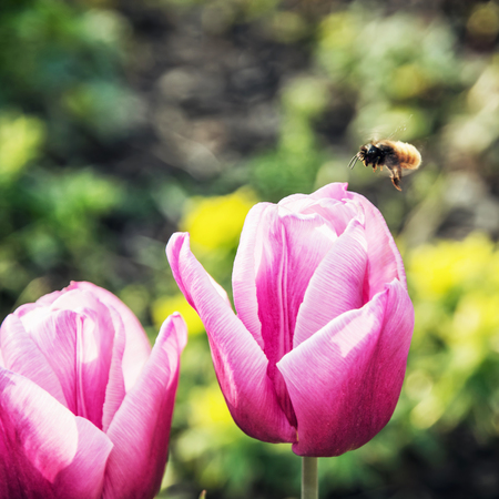 pink tulips: Bumble-bee and beautiful pink tulips. Seasonal natural scene.