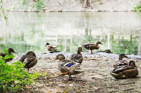 palmiped: Group of wild mallard ducks on the lake shore. Animal scene. Stock Photo