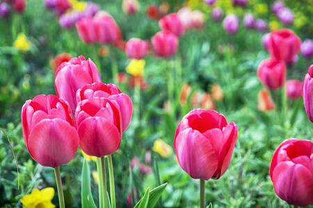 Tulipanes De Color Rosa Hermosas En El Jardín. Escenario Natural ...
