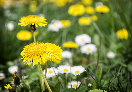 oxeye: Yellow dandelions and ox-eye daisies in the meadow. Close up natural scene. Stock Photo
