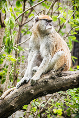 hussar: Patas monkey - Erythrocebus patas - Vervet monkey - sitting on the branch and observing surroundings. Animal scene.