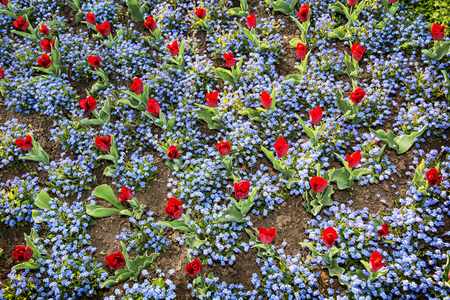 planted: Red tulips and forget-me-not flowers planted in the park. View from above. Beauty in nature.