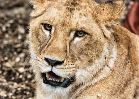 endangered species: Portrait of a Barbary lion - Panthera leo leo. Animal portrait. Lioness closeup. Atlas lion. Critically endangered species. Stock Photo