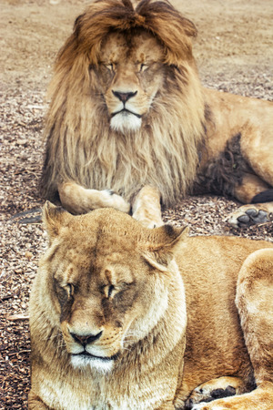 endangered species: Couple of Barbary lions - Panthera leo leo. Male and female. Atlas lion. Critically endangered species.