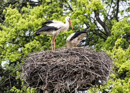 bird watching: Family of White stork - Ciconia ciconia - in the nest. Animal scene. Bird watching. Seasonal natural scenery. Beauty in nature. Red beak.