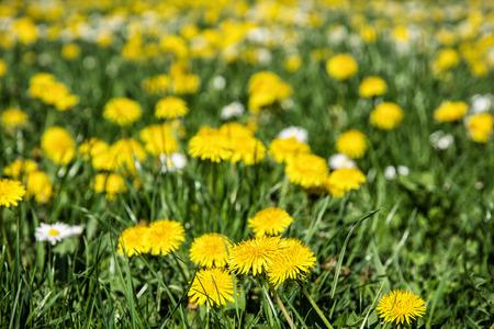 leucanthemum: Yellow dandelions and ox-eye daisies in the meadow. Close up natural scene. Taraxacum and leucanthemum vulgare. Meadow flowers.