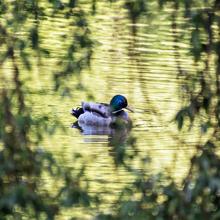 anas platyrhynchos: Mallard duck - Anas platyrhynchos - swims in the lake. Bird scene. Beauty in nature. Animal theme. Reflections in water.