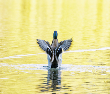 anas platyrhynchos: Mallard duck - Anas platyrhynchos - fly out of yellow water. Bird scene. Beauty in nature. Reflections in water. Animal theme. Stock Photo