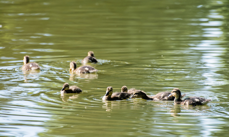 palmiped: Group of little ducklings Mallard - Anas platyrhynchos. Bird scene. Beauty in nature. Reflections in water. Young ones. Animal theme. Stock Photo