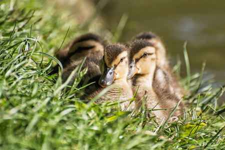 palmiped: Group of Mallard ducklings - Anas platyrhynchos - resting in the green grass. Birds scene. Beauty in nature. Young ones. Animal theme.