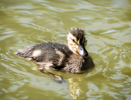 palmiped: Mallard duckling - Anas platyrhynchos - in the water. Bird scene. Beauty in nature. Young one. Detailed natural scene. Animal theme.